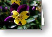 Viola Tricolor Greeting Cards - Wild Pansy Greeting Card by Don  Wright