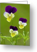 Viola Tricolor Greeting Cards - Wild Pansy (viola Tricolor) Greeting Card by Bob Gibbons