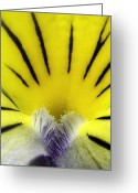 Viola Tricolor Greeting Cards - Wild Pansy (viola Tricolor) Flower Greeting Card by Jerzy Gubernator
