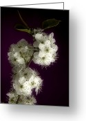Mac Miller Greeting Cards - Wild Plum Blooms Greeting Card by M K  Miller