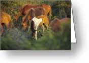 Wild Horses Greeting Cards - Wild Ponies And Foal Graze On Tender Greeting Card by Raymond Gehman