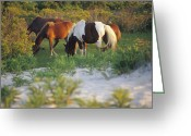 Wild Horses Greeting Cards - Wild Ponies Grazing On Tender Grasses Greeting Card by Raymond Gehman