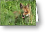 Watch Dog Greeting Cards - Wild red fox puppy Greeting Card by Mircea Costina Photography