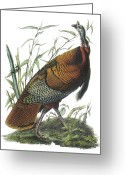 North America Greeting Cards - Wild Turkey Greeting Card by John James Audubon