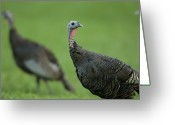 Captive Animals Greeting Cards - Wild Turkey Meleagris Gallopavo Greeting Card by Joel Sartore