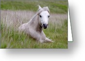 Peninsular Greeting Cards - Wild Welsh Pony Greeting Card by Steve Hyde