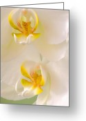 White Orchids Greeting Cards - Wild White Orchids Greeting Card by David  Naman