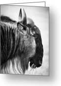 Tanzania Greeting Cards - Wildebeest Greeting Card by Adam Romanowicz