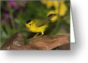 Rio Grande Greeting Cards - Wilsons Warbler Wilsonia Pusilla Male Greeting Card by Tom Vezo