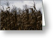 Cornfield Greeting Cards - Wind Blown Greeting Card by Linda Knorr Shafer