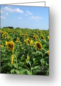 Arkansas Greeting Cards - Windblown Sunflowers Greeting Card by Robert Frederick