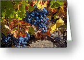 Autumn Season Greeting Cards - Wine grapes Napa Valley Greeting Card by Garry Gay