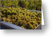 Autumn Season Greeting Cards - Wine harvest Greeting Card by Garry Gay