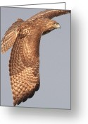 Red-tailed Hawk Greeting Cards - Wings of a Red Tailed Hawk Greeting Card by Wingsdomain Art and Photography