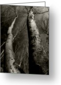Bare Trees Greeting Cards - Winter Birch Greeting Card by Kim Zier