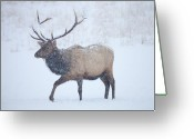Elk Greeting Cards - Winter Bull Greeting Card by Mike  Dawson