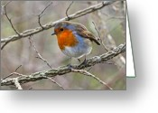 Winter Trees Greeting Cards - Winter Irish Robin Greeting Card by Pierre Leclerc