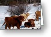 Landscape Posters Pyrography Greeting Cards - Winter Steer  Greeting Card by The Kepharts