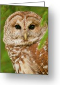 Barred Owl Greeting Cards - Wise One Greeting Card by Ron  McGinnis