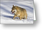 Carnivores Greeting Cards - Wolf Canis Lupus Walking In Snow Greeting Card by Konrad Wothe