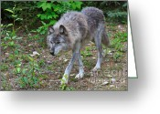 Prowling Greeting Cards - Wolf on the Prowl Greeting Card by Louise Heusinkveld