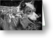 Playful Wolves Greeting Cards - Wolf Run Greeting Card by Debra     Vatalaro