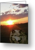 Playful Wolves Greeting Cards - Wolf Sunset Greeting Card by Debra     Vatalaro