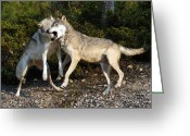 Playful Wolves Greeting Cards - Wolfplay Greeting Card by Wade Aiken