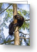 Looking At Camera Greeting Cards - Wolverine Gulo Gulo Resting In Tree Greeting Card by Konrad Wothe