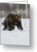 Wolverine Greeting Cards - Wolverine In Snow, Norway Greeting Card by Roger Eritja