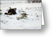 Wolverine Greeting Cards - Wolverine in Winter Greeting Card by Tim Grams
