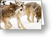 Natural Wolf  Greeting Cards - Wolves at play Greeting Card by Melody and Michael Watson