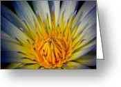 Water Lilly Greeting Cards - Wonder Lily Greeting Card by Steve McKinzie