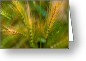 Pods Greeting Cards - Wonderous Wild Wheat Greeting Card by Wenata Babkowski