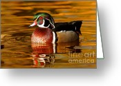 Colours Greeting Cards - Wood-drake on the golden light Greeting Card by Mircea Costina Photography