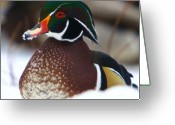Black Bird Greeting Cards - Wood Duck Greeting Card by Robert Pearson
