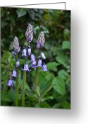Endymion Greeting Cards - Wood Hyacinth England Greeting Card by Douglas Barnett
