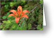 Lilium Greeting Cards - Wood lily also called Prairie lily or Western Red lily Greeting Card by Louise Heusinkveld