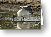 Audubon Greeting Cards - Wood Stork Fishing Greeting Card by Al Powell Photography USA