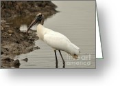 Audubon Greeting Cards - Wood Stork Pose Greeting Card by Al Powell Photography USA