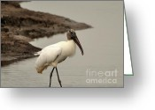 Audubon Greeting Cards - Wood Stork Walking Greeting Card by Al Powell Photography USA