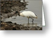 Audubon Greeting Cards - Wood Stork with Fish Greeting Card by Al Powell Photography USA