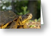 Wood Turtle Greeting Cards - Wood Turtle 2 Greeting Card by Thomas Young