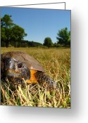 Wood Turtle Greeting Cards - Wood Turtle Greeting Card by Caitlin Scroggins