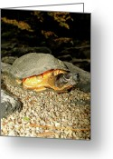 Wood Turtle Greeting Cards - Wood Turtle Greeting Card by Robert Shoemaker IV