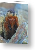 Groundhog Greeting Cards - Woodchuck Greeting Card by Tony Beck