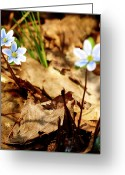 Forest Floor Greeting Cards - Woodland Flowers Greeting Card by Thomas Young