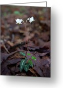 Anther Greeting Cards - Woodland Twins Greeting Card by Douglas Barnett