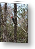 Florida Swamp Greeting Cards - Woodpecker in the Swamp Greeting Card by Carol Groenen