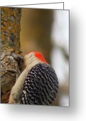 Woodpecker Photos Greeting Cards - WoodPecker  Greeting Card by Matt Steffen